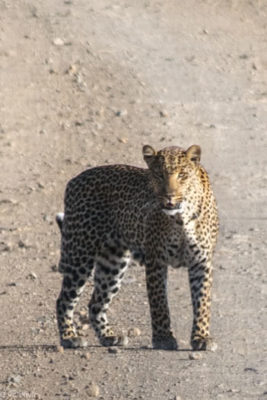 Kenya - Lake Nakuru - Big 5 - Leopard on the road