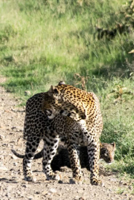 Kenya - Lake Nakuru - Big 5 - Leopard with baby behind