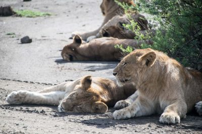 Tanzania - Ndutu - Big 5 - Young lion group 2