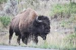 Yellowstone National Park, Wyoming, USA - bison / buffalo encounter
