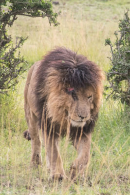 Masai Mara, Kenya - Safari - Game drive - Lion spotting